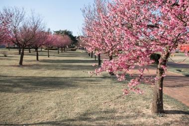 Cerejeiras de Indaiatuba