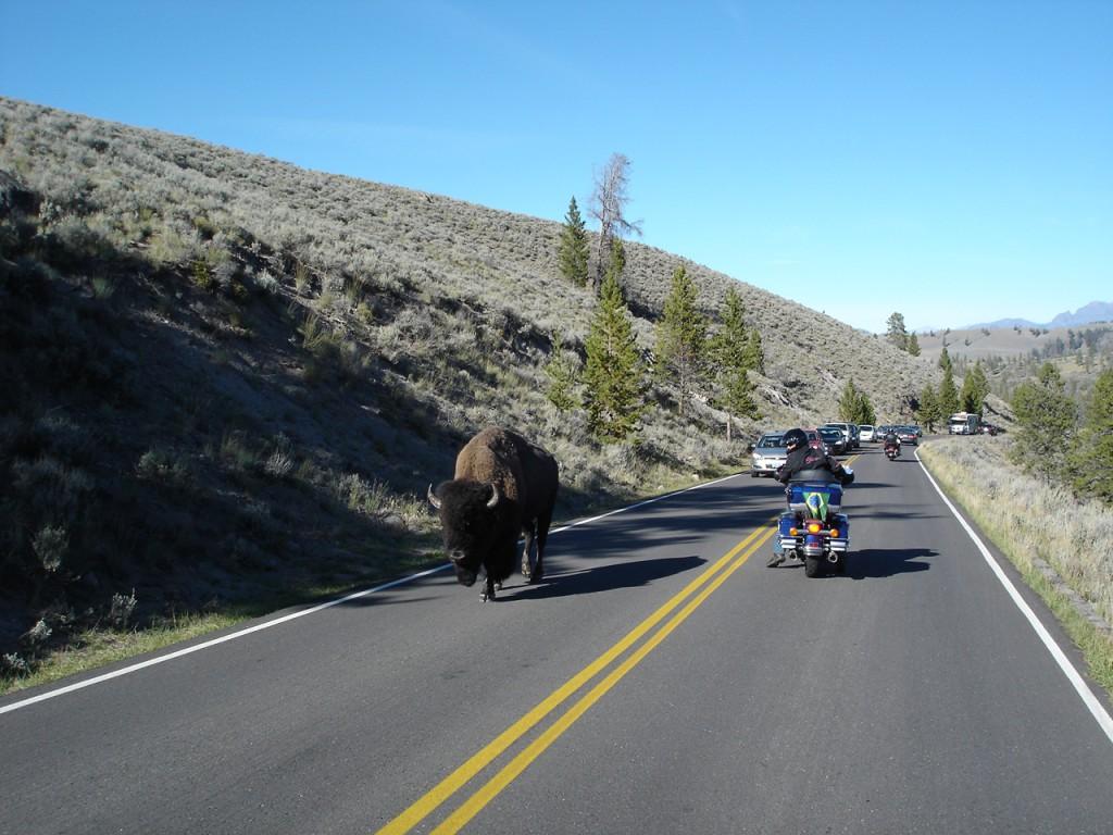 Bufalo na estrada do Parque Yellowstone