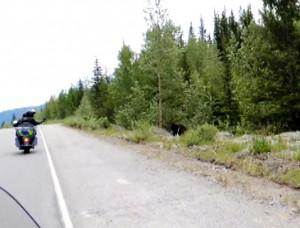 Urso na estrada Icefields Parkway