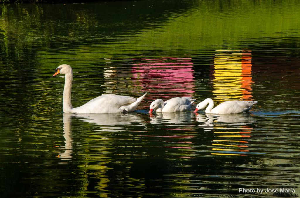 Cisnes em Inhotim