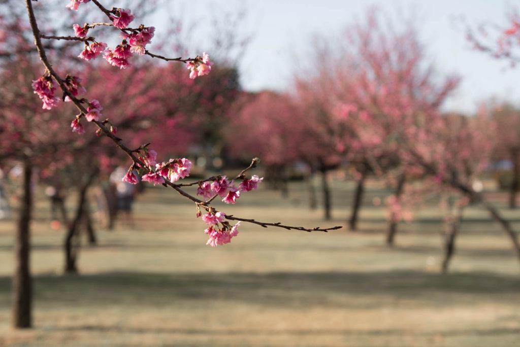 Cerejeiras em Indaiatuba